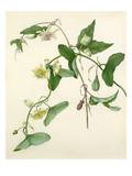 Passiflora misera Giclée-Druck von Margaret Meen