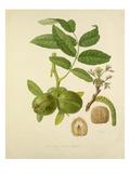 The Large French Walnut Reproduction procédé giclée par William Hooker