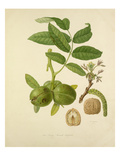 The Large French Walnut Giclee Print by William Hooker