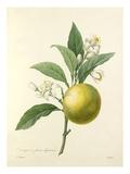 Oranger à fruits déprimés Lámina giclée por  Langlois