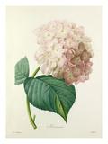 Hortensia Reproduction procédé giclée par  Langlois