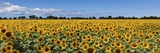Sunflowers Photographic Print by Marco Carmassi
