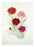 Dianthus Lord Chatham, striped sport, Crimson Clove and Starcross Giclee Print by Graham Stuart Thomas