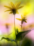 Arnica Photographic Print by Ursula Abresch