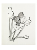 Iris unguicularis (Iris stylosa) Reproduction procédé giclée par Graham Stuart Thomas