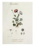 Anemone , Oeil de paon, Pavonina Giclee Print by Pierre Jean François Turpin