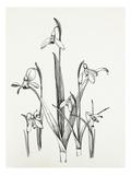 Galanthus varieties Reproduction procédé giclée par Graham Stuart Thomas