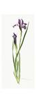 Iris tolmieana Reproduction procédé giclée par  Williamson