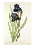 Iris germanica Gicléedruk van Pierre-Joseph Redouté