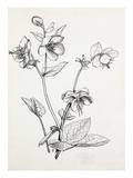 Helleborus lividus Gicléedruk van Graham Stuart Thomas