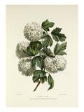 Gelder Rose Giclée-Druck von Charles Joseph Hullmandel