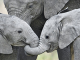 African Elephant Calves (Loxodonta Africana) Holding Trunks, Tanzania Reproduction photographique