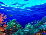 Underwater View of Pallid Triggerfish (Sufflamen Bursa), Oriental Sweetlips (Plectorhinchus Vitt... Fotografisk tryk af Panoramic Images,