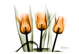 Tulips Orange Posters av Albert Koetsier