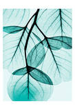 Teal Eucalyptus Prints by Albert Koetsier