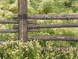 Wild Chamomile Growing around Log Fence Fotografie-Druck von Adam Jones