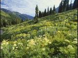 Cow Parsnip and Orange Sneezeweed Growing on Mountain Slope, Mount Sneffels Wilderness, Colorado Photographic Print by Adam Jones