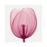 Tulips A (Positive) Giclée-Druck von Steven N. Meyers