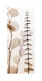 Eucalypti I (Left) Reproduction procédé giclée par Steven N. Meyers