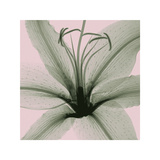 Lily Giclee Print by Steven N. Meyers