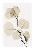 Eucalyptus Leaves Giclee Print by Steven N. Meyers