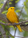 A Male Yellow Warbler, Dendrica Petechia, Perched on a Tree Branch Reproduction photographique par George Grall