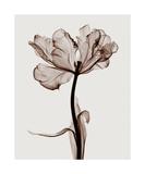 Parrot Tulips I Impressão giclée por Steven N. Meyers