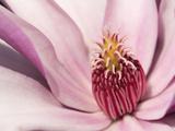 Close Up of a Pink Tulip Magnolia Flower, Magnolia Liliflora Photographic Print by Darlyne A. Murawski