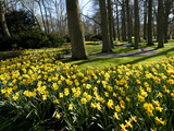 Daffodils in Bloom around Trees in a Public Garden Photographic Print by James P. Blair