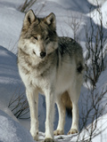 A Lone Female Gray Wolf Watching Reproduction photographique par Jim And Jamie Dutcher