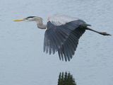A Great Blue Heron, Ardea Herodias, Flying over a Pond in a Rookery Stretched Canvas Print by Paul Sutherland