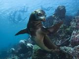 A Galapagos Sea Lion Pauses as Tourists Snorkel on the Surface Lámina fotográfica por Mauricio Handler