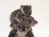 A Federally Threatened Koala Climbs on Top of its Mother, Who Has Conjunctivitis Fotografisk tryk af Joel Sartore
