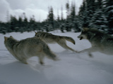 Gray Wolves in Pursuit of Game 写真プリント : ジム・アンド・ジェイミー・ダッチャー