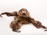 A two-toed sloth, Choloepus hoffmanni, at the Lincoln Children's Zoo. Fotografisk tryk af Joel Sartore