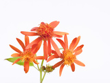 Mexican Flame Vine Flowers  Pseudogynoxys Chenopodioides