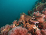 A Pacific Giant Octopus Crawls over a Colorful Anemone Filled Bottom Photographic Print by Mauricio Handler