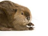 Portrait of a Beaver, Castor Canadensis Lámina fotográfica por Sartore, Joel