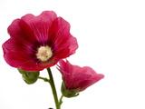A Common Hollyhock Flower  Alcea Rosea