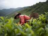 Picking Tea Leaves on a Puer Tea Estate in the Yunnan Province Premium fototryk af Alex Treadway