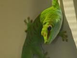 A Captive Madagascar Giant Day Gecko, Phelsuma Madagascariensis Fotografisk trykk av Paul Sutherland