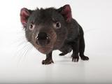 An Endangered Tasmanian Devil, Sarcophilus Harrisii Fotografisk tryk af Joel Sartore