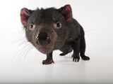 An Endangered Tasmanian Devil, Sarcophilus Harrisii Lámina fotográfica por Sartore, Joel