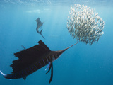 Atlantic Sailfish Attack and Surround a Baitball of Sardines Fotografisk tryk af Mauricio Handler