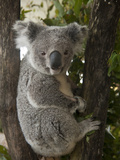 A Wounded Federally Threatened Koala Sits in a Tree in an Enclosure at a Wildlife Hospital Fotografie-Druck von Joel Sartore