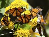 Monarch Butterflies, Danaus Plexippus, Resting on a Flower Fotografisk trykk av Roy Toft