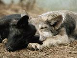 Two Sleeping Gray Wolf Pups Premium-Fotodruck von Jim And Jamie Dutcher