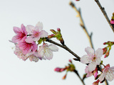 A Japanese Cherry Tree Bursts Forth in Blossoms Impressão fotográfica por Raymond Gehman