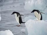 Adelie Penguins Leaping from Iceberg to Iceberg Fotografie-Druck von Bob Smith