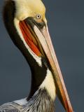 Close Up Portrait of a Brown Pelican, Pelecanus Occidentalis Stampa fotografica di Tim Laman